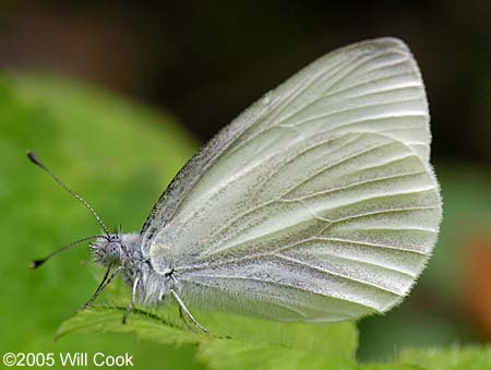 West Virginia White, Pieris virginiensis