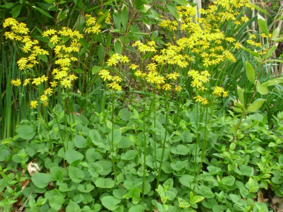Golden Ragwort is a beautiful plant in flower and makes an effective groundcover even in dry shade conditions.