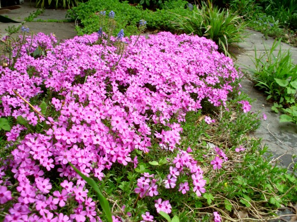 Moss Phlox (Phlox subulata) is a great evergreengroundcover for a hot sunny area. Here, on a south- facing slate patio. groundcover for a hot sunny area. Here, on a south- facing slate patio.
