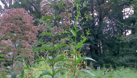 Joe Pye's tall, stately, pale orchard umbels tower over the Grow Zone of Native Knotweed, Heath Aster, and wild sunflowers
