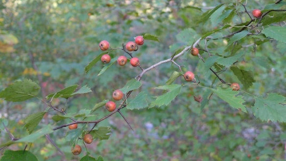 The locally rare frosted, or waxyfruit hawthorn (Crataegus pruinosa) is bearing abundant fruit this season at HOG woods.