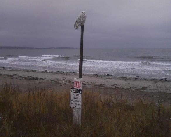 Snowy owl seen on 8 December 2013 at the Massachusetts Bay beach causeway leading to the town of Nahant, 12 miles north of Boston.