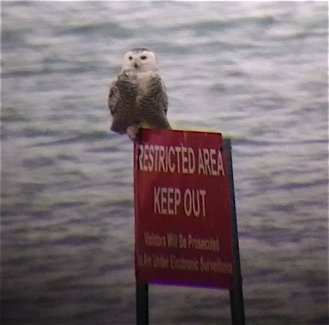 A snowy owl at Gravelly Point. Photo by S. Young.