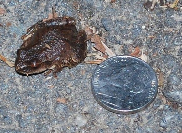 Northern spring peeper on path photographed 3-24-14. Image courtesy: Linda Shapiro.