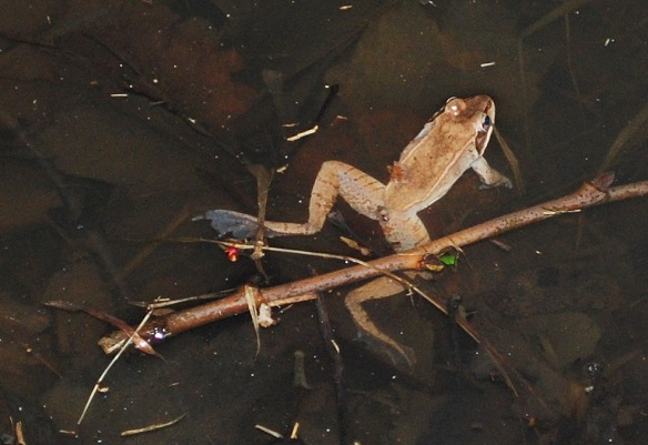 Wood frog in marsh photographed 3-19-14. Image courtesy: Linda Shapiro.