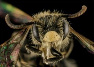 Andrena ziziae