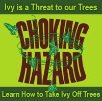 Choking Hazard: Ivy is a Threat to our Trees - Learn How to Take Ivy Off Trees