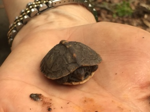 Photo 6 Baby box turtle (Elizabeth Gearin)