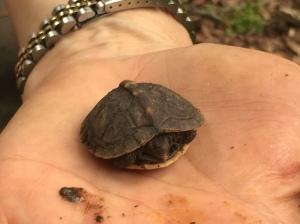 Photo 6 Baby box turtle (Elizabeth Gearin)