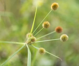 Cyperus_echinatus_IMG_2287