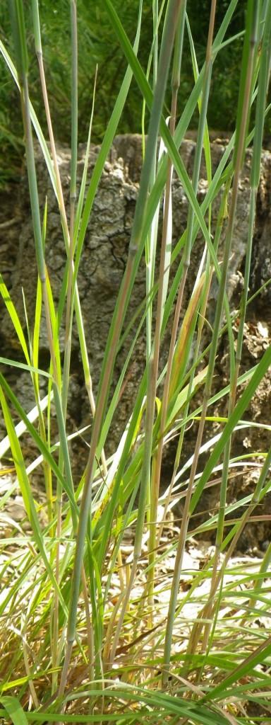 Schizachyrium scoparium