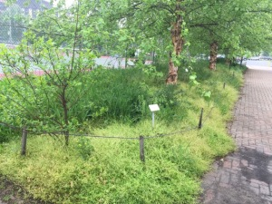 Invasive plants take over Central Library's gardens