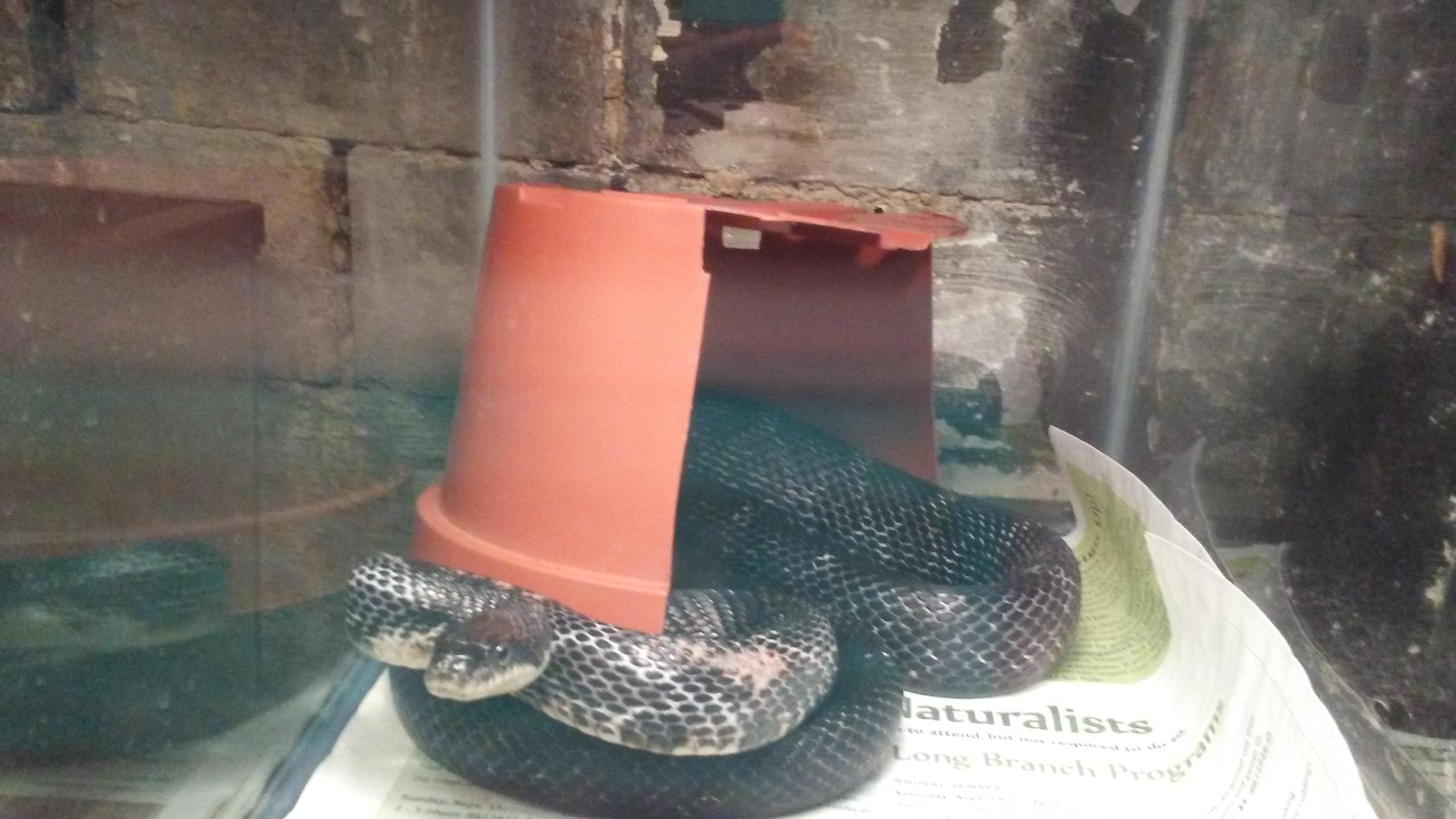 Photo of injured black rat snake by Lisa Stern