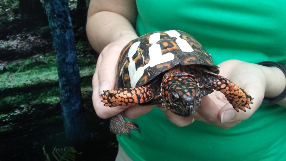 Photo of injured woodland box turtle by Lisa Stern