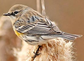 Photo of Yellow-rumped warbler (Setophaga coronate)