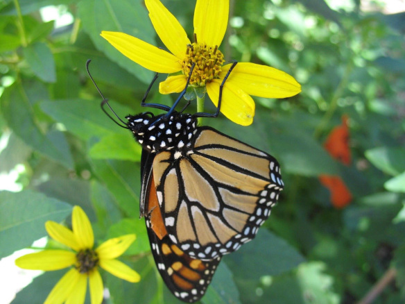 Photo of Monarch butterfly (Danaus plexippus)