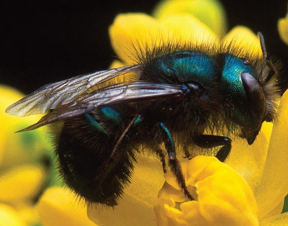 Photo of the blue orchard bee (Osmia lignaria)