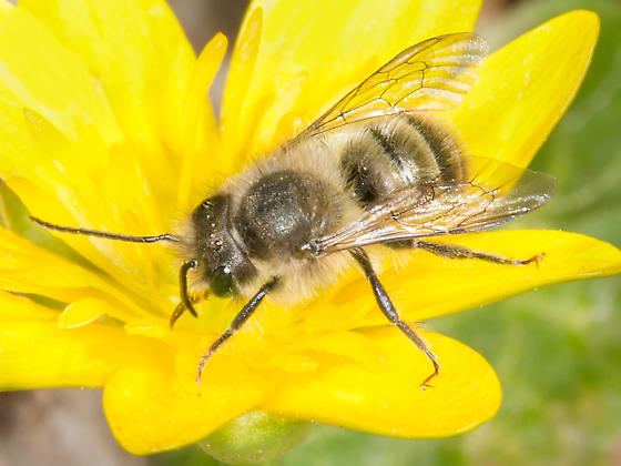Photo of invasive mason bee species Osmia cornifrons