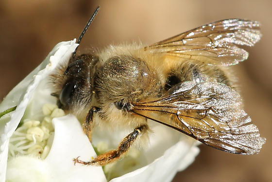 Photo of invasive mason bee species Osmia taurus
