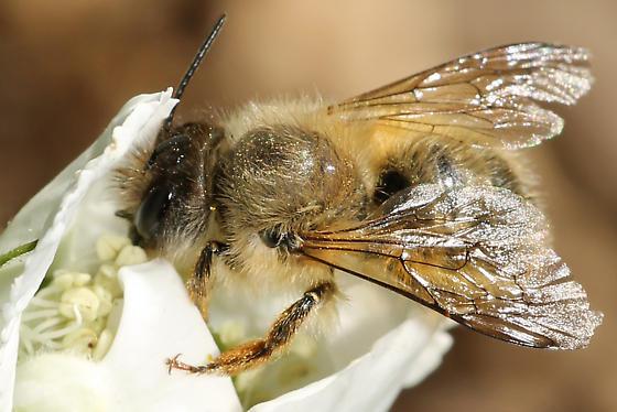 Photo of invasive mason bee species Osmia taurus