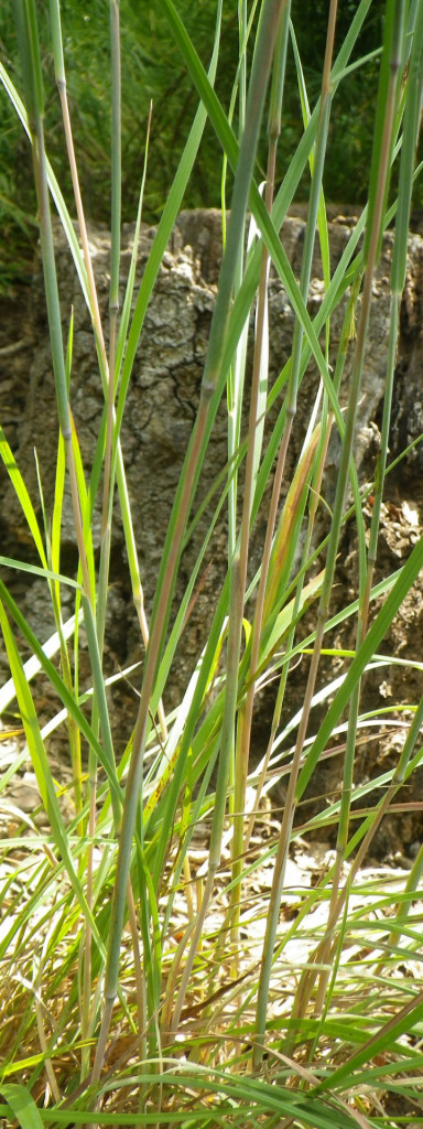 Photo of Little Bluestem planted at C.F. Smith Park