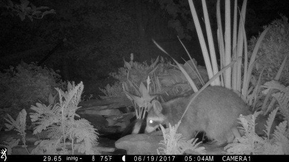 Camera trap photo from ARMN Member Louis Harrell