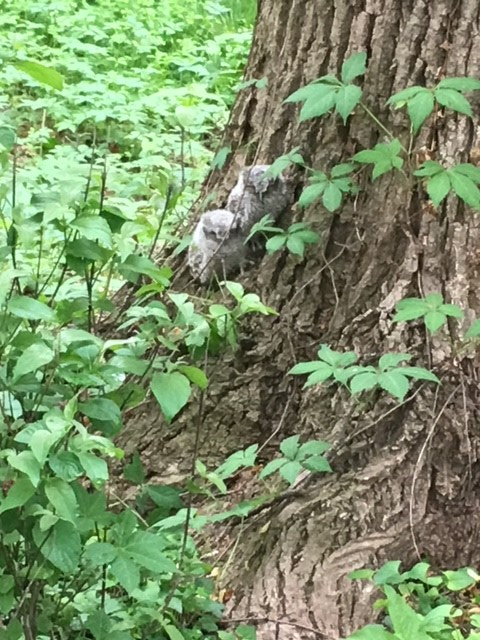 Photo of two juvenile grey and white eastern screech owls sitting on a tree trunk