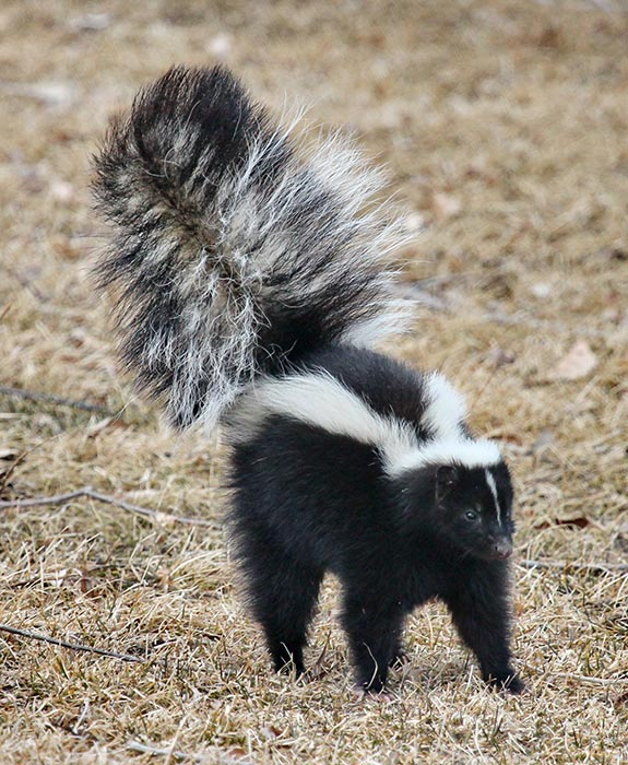 Photo of a skunk standing in dried grass. The skunk is arching its back and has its tail rasied.