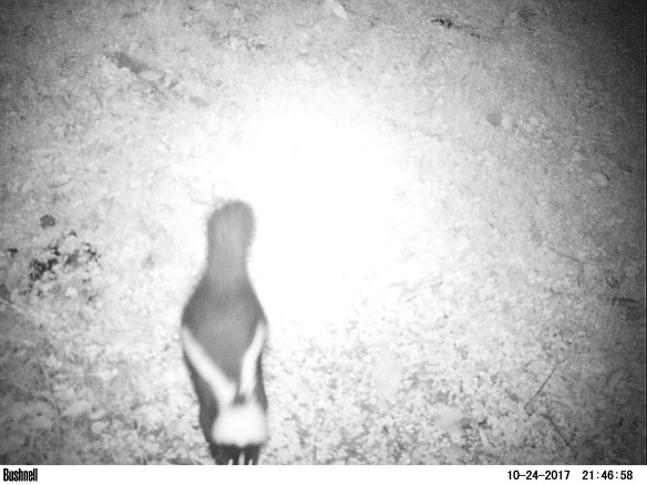 Black and white photo of a skunk. Skunk is at the bottom of the frame.