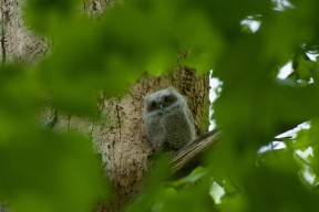 Photo of an easter screech owl perched on a tree limb framed by leaves