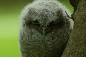 Upclose photo of a juvenile screech owl