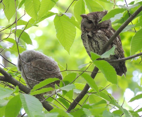 Photo of a juvenile eastern screech owl sitting in a tree on the left, and an adult eastern screech owl sitting in the tree to the right