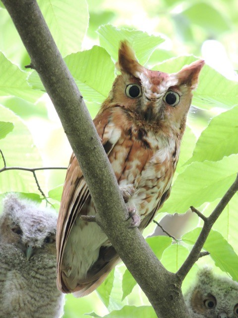 Photo of an adult eastern screech owl sitting in a tree above two juvenile eastern screech owls