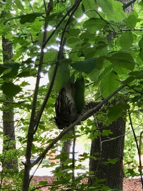 Photo of adult eastern screech owl hanging upside down off a tree limb