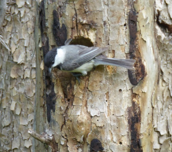 Photo of a Carolina Chickadee bird on a tree trunk. THe bird has a black topped head followed by a white strip and a grey body. The tree trunk is light brown streaked with dark brown and has a flaky bark.