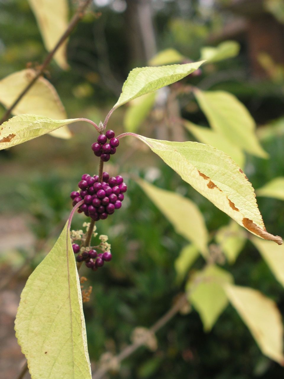 Close up photo of a plant with yellowish green leaves and deep purple berries clustered around the stem.