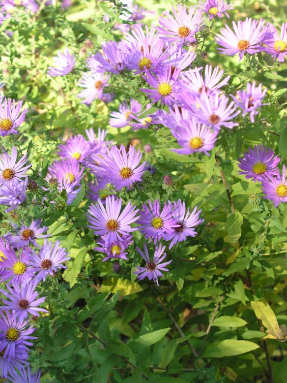 Photo of light purple flowers with small petals and bright yellow centers