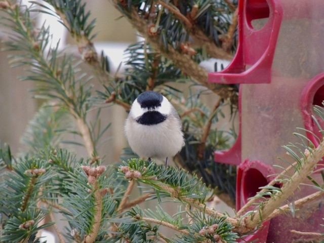 Photo of Carolina chickadee sitting in a Christmas tree next to a red bird feeder