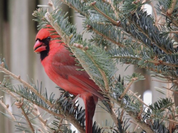 Photo of a male Northern cardinal in a Christmas tree