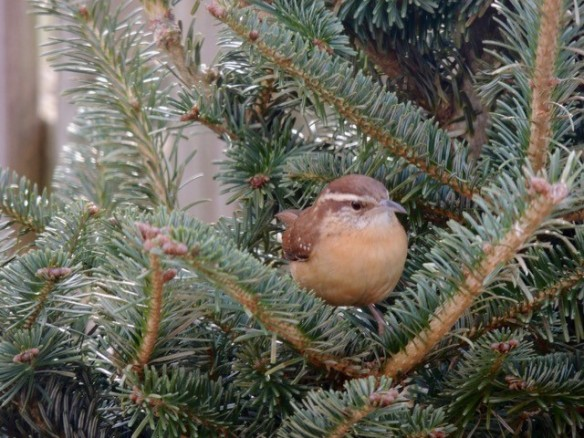 Photo of a Carolina wren in a Christmas tree