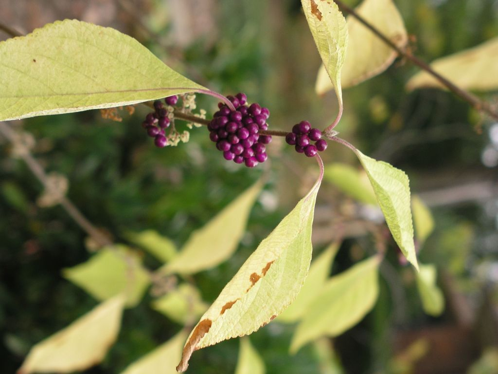 Close up photo of a plant with four leaves and clusters of purple berries