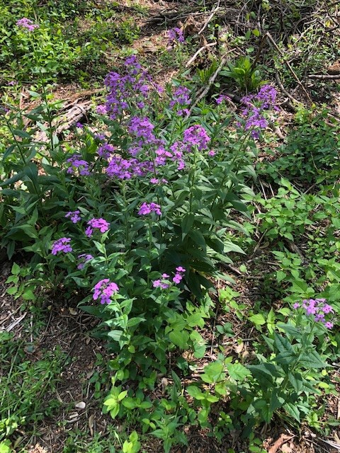 Photo of woodland phlox. The plant has purple flowers.