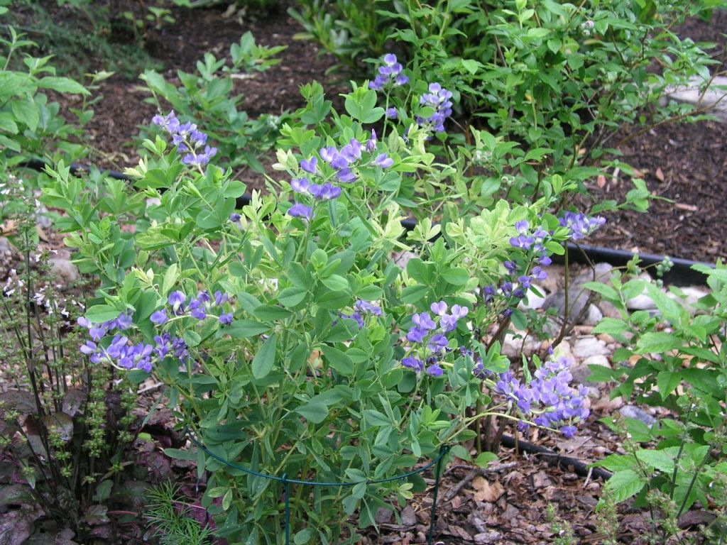 A plant with blue flowers