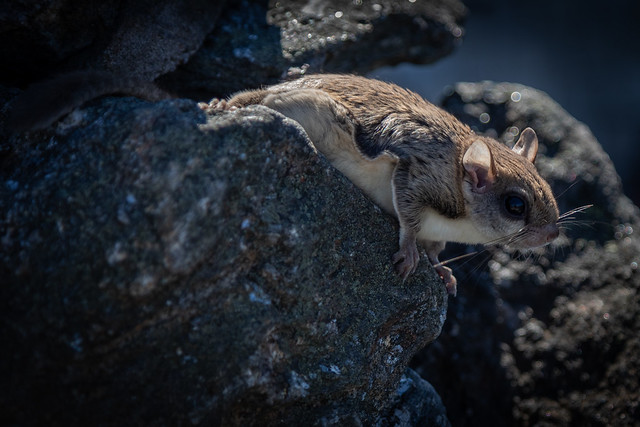 Photo of a flying squirrel