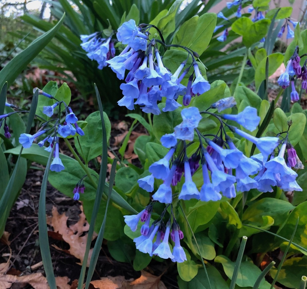 Photo of blue bell shaped flower