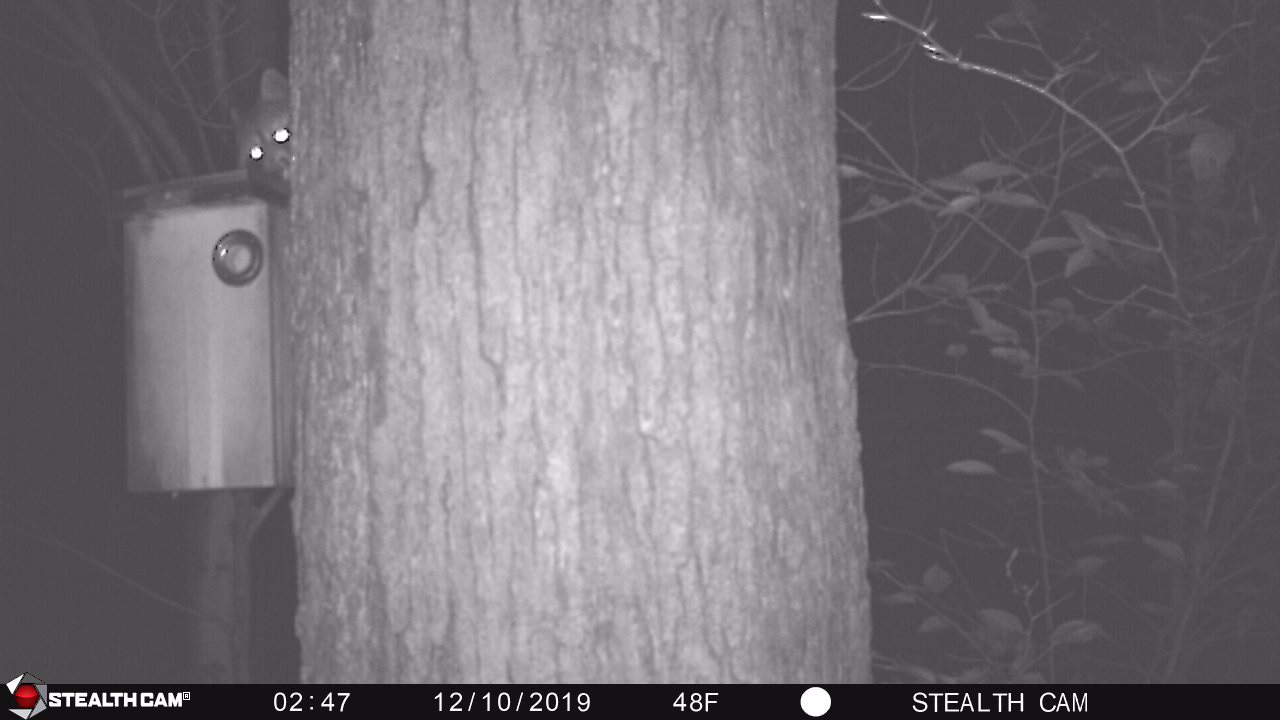 Photo of a racoon peering out from behind a tree trunk