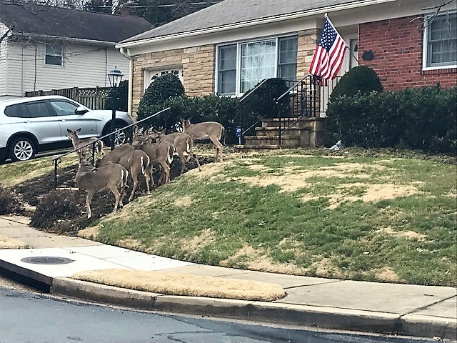 Photo of a herd of deer on a lawn in front of a house