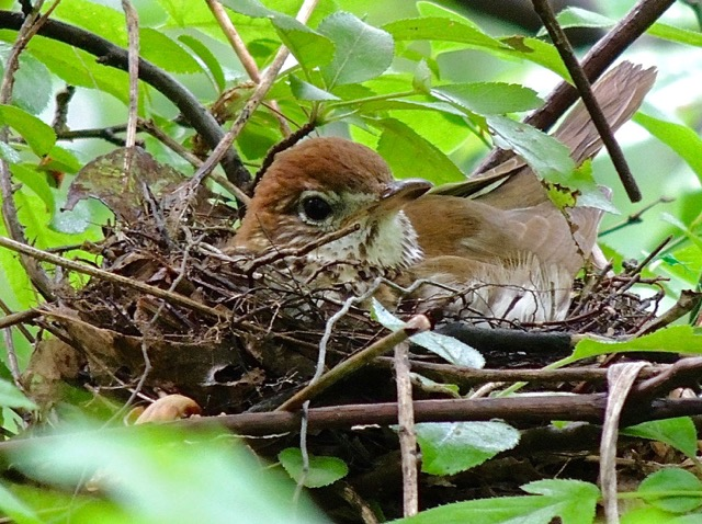 Photo of a wood thrush bird in her nest
