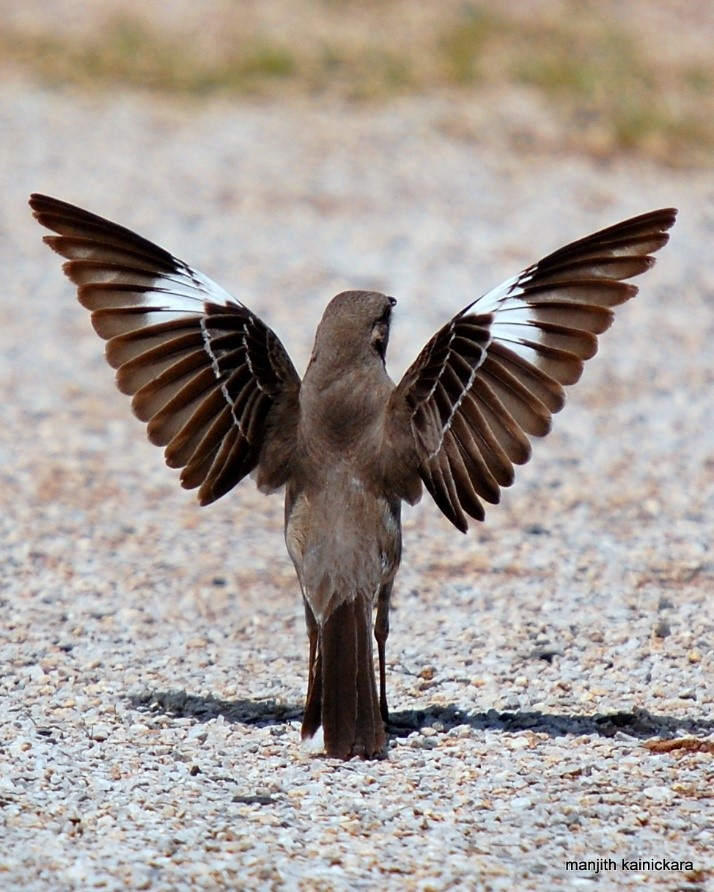 Photo of a northern mockingbird spreading its wings