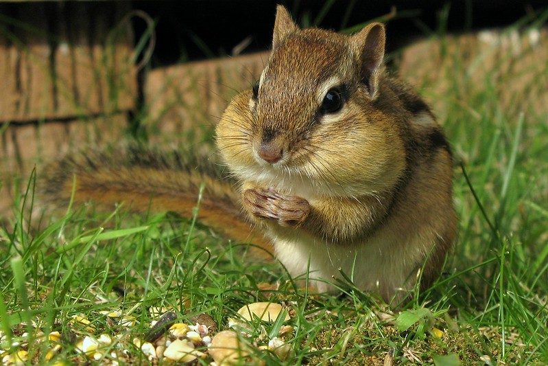 Photo of a chipmunk with very full cheeks